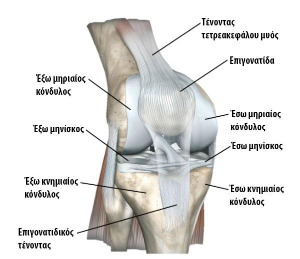 άρθρωση γόνατος